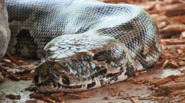 Змеиная ферма Пхукета питоны