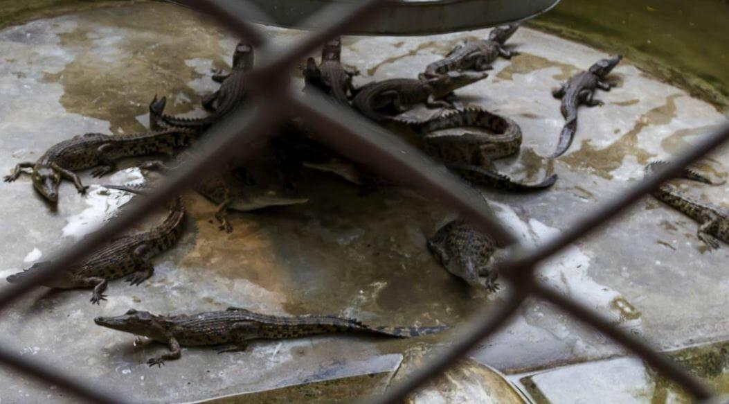 Крокодиловая ферма в Паттайя