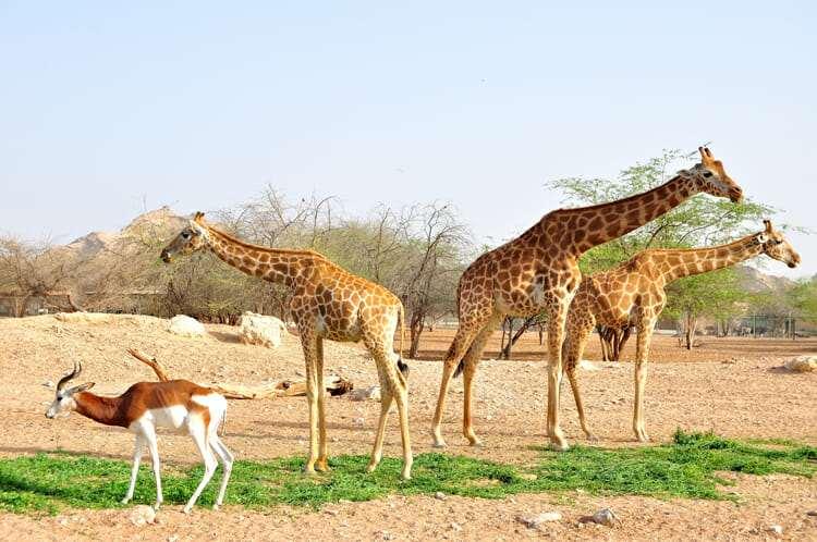 Сир-Бани-Яс, ОАЭ, животные