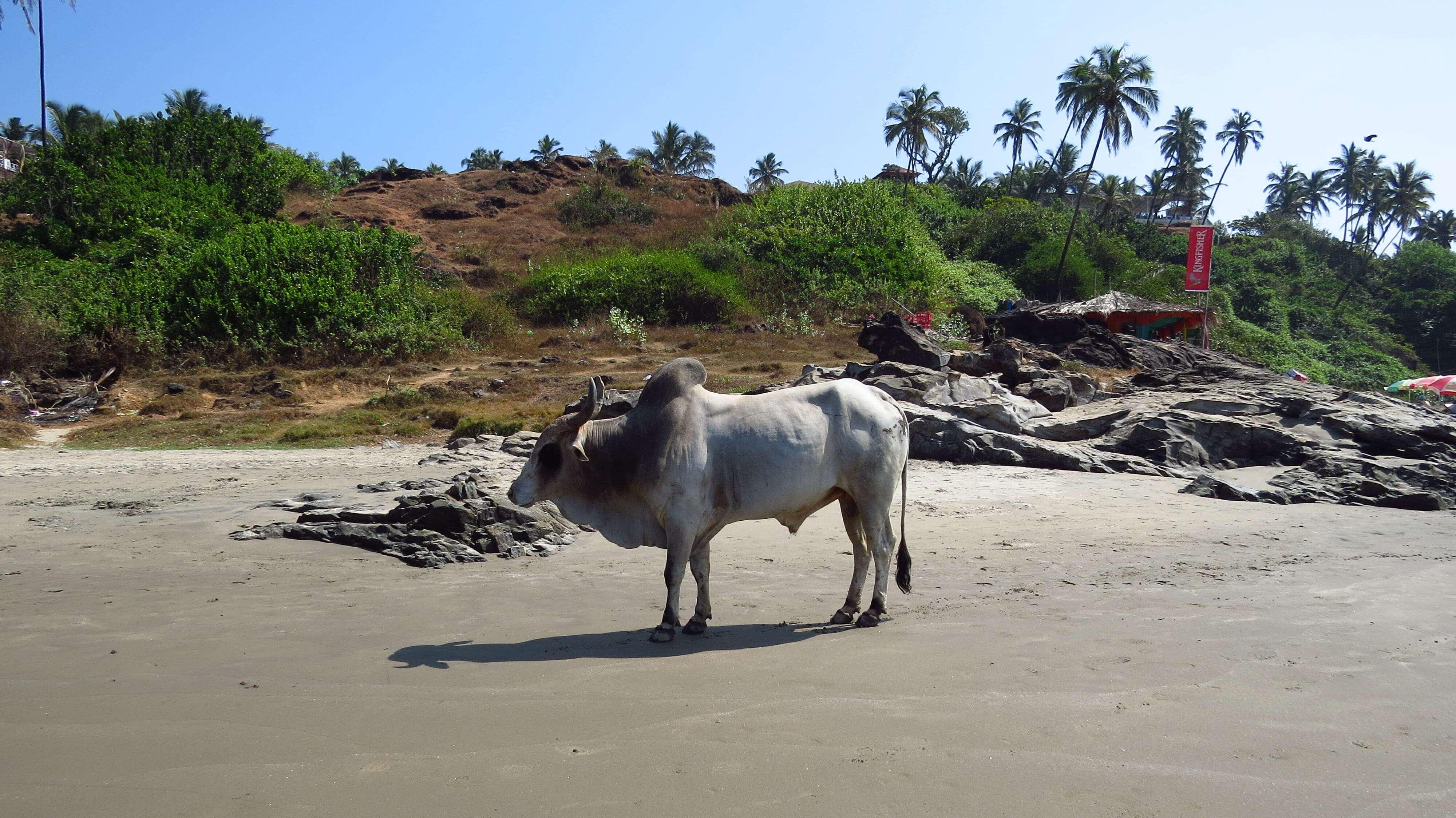 коровы на пляже Вагатор