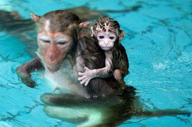 обезьяны в Бассейне