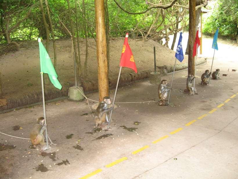 Остров обезьян Хайнань обезьяны с флагами