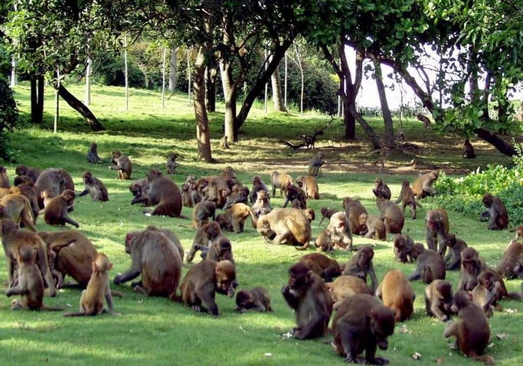 Остров обезьян Хайнань стадо