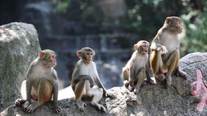 Остров обезьян – это естественный заповедник где разводят и изучают различные виды обезьян, который расположен на острове Хайнань, в Санье, Китай