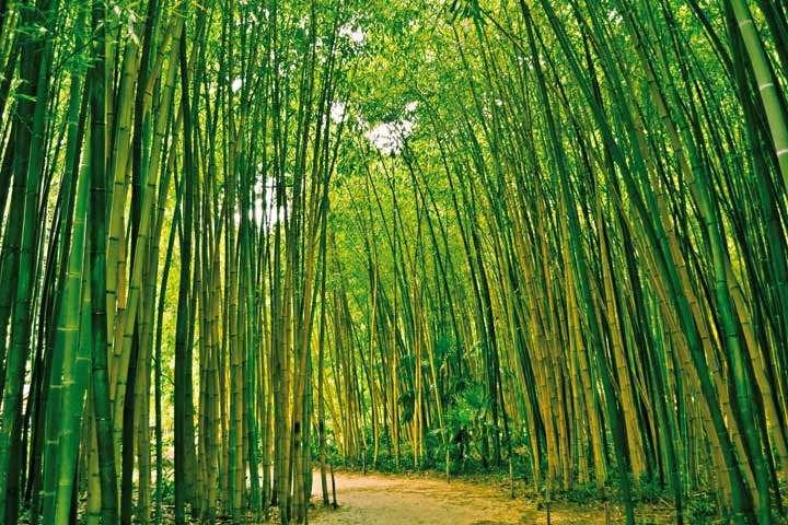 На территории Китая растет более 500 видов бамбука.