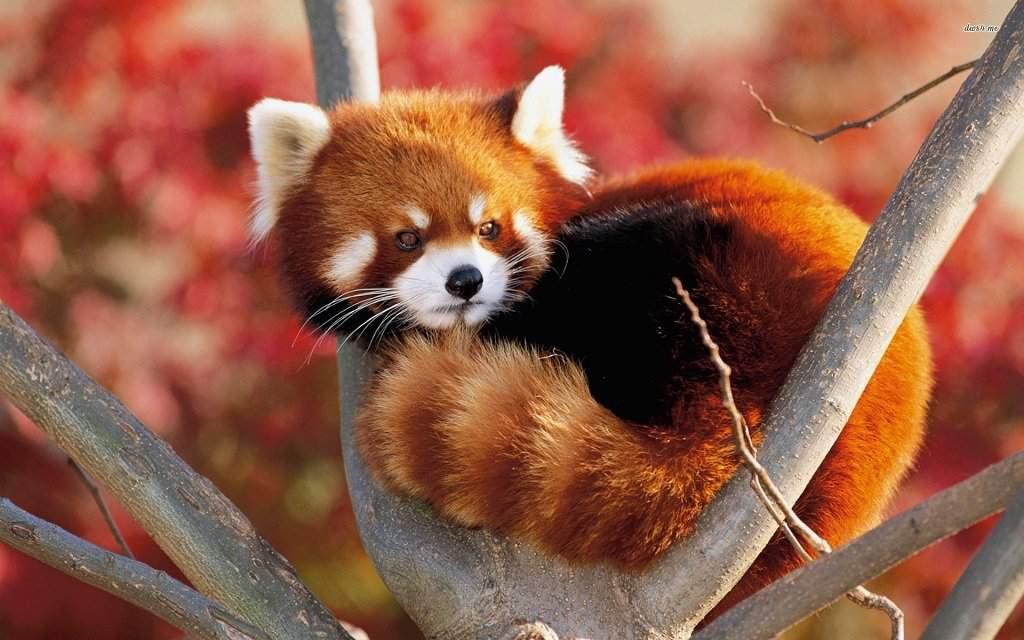 Помимо большой территории, 600 видов животных и множества экскурсионных программ, в зоопарке Шанхая есть необычные развлечения: Бои быков; Бои петухов; Танцы слонов; Забавные панды.