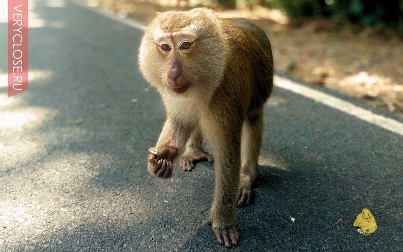 Место примечательно тем, что на горе обитает множество обезьян, туристы их так избаловали что они сами уже не добывают еду, а нагло требуют ее у всех приезжающих суда посмотреть.