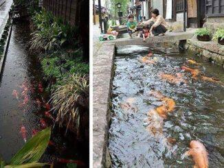 Для многих словосочетание сточная канава ассоциируется с помоями, стекающими со всего города. Но в такой стране как Япония — это совсем не так, сточные вода этого города на столько чистые что них обитает рыбы в частности карп кои.